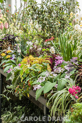 A luscious display of tender plants including cyclamen, streptocarpus, begonias, solenostemons and many others in the conservatory in the Walled Garden at Wallington, Northumberland in March.