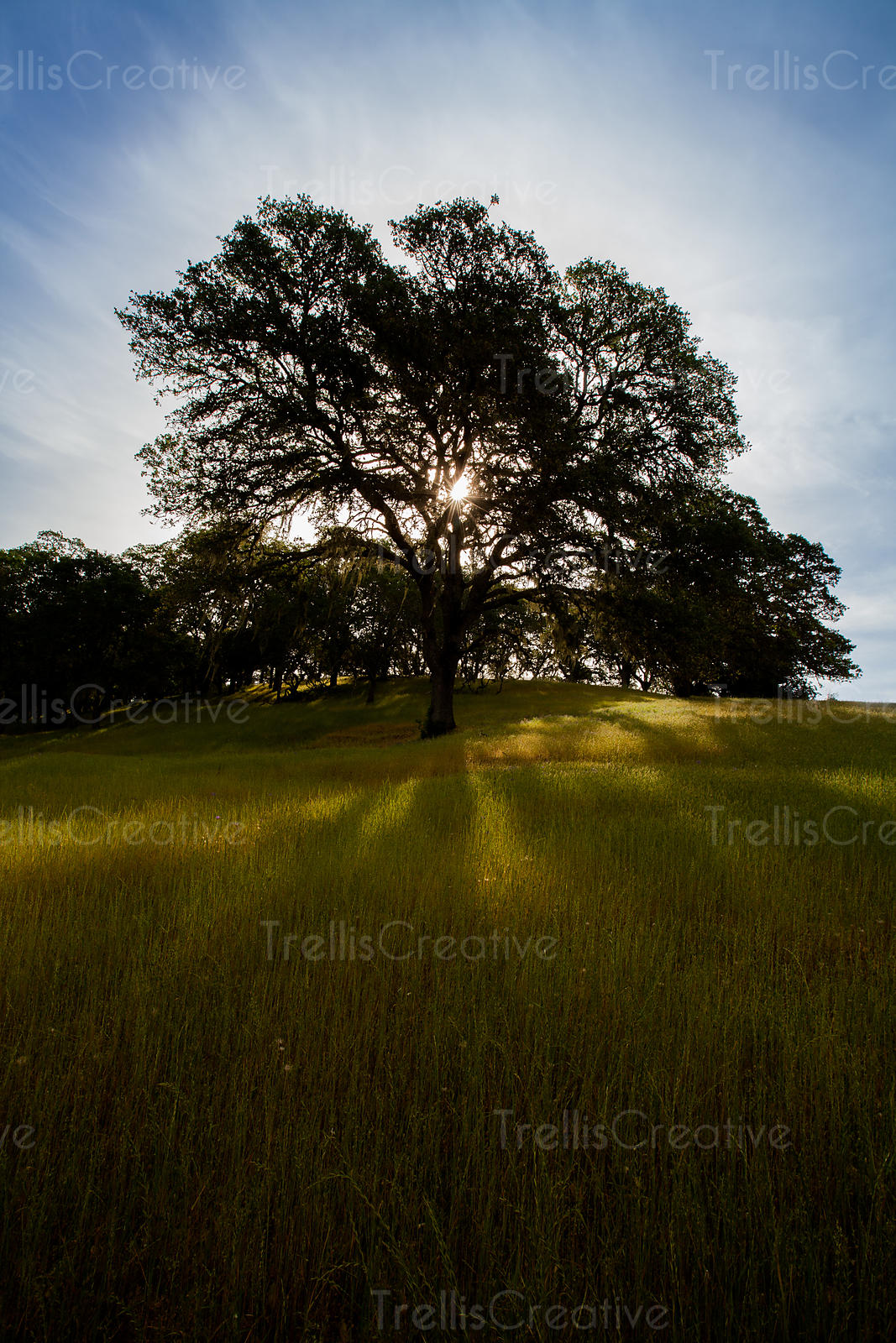 Majestic tree standing tall in the grasslands with the sun peering through in  the blue sky