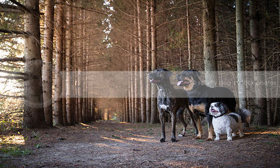pack of two big dogs one little dog standing in pine forest