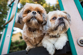 Two Shih Tzu friends looking out from platform