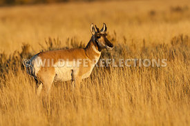 pronghorn_young_buck_golden_grasses