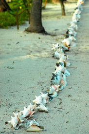 Conch Shells Lining a Path
