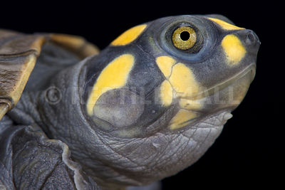 Yellow-spotted river turtle (Podocnemis unifiles)  photos