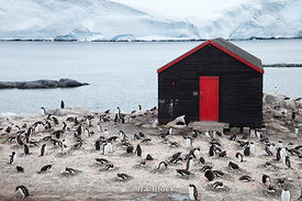 A large grouping of gentoo penguins found around Port Lockroy in the Antarctic Peninsula.