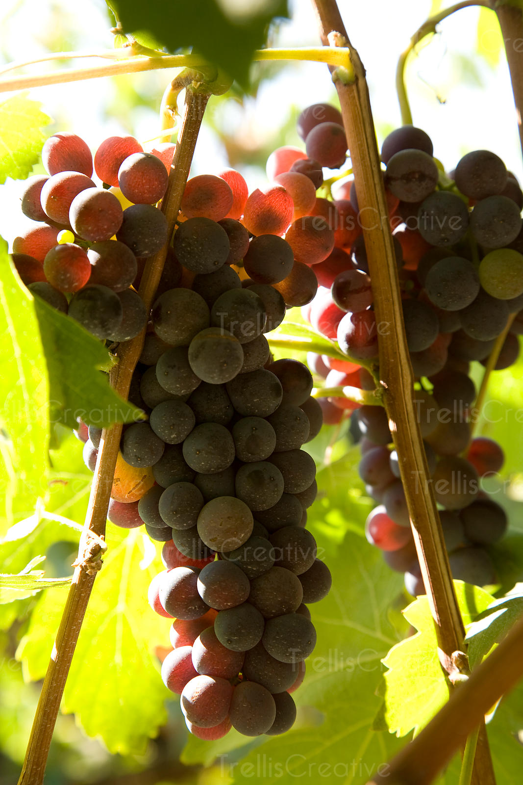 Clusters of ripe nebbiolo grapes on the vine