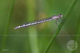 immature female Common Blue Damselfly: