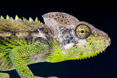 Warty chameleon / Furcifer verrucosus photos