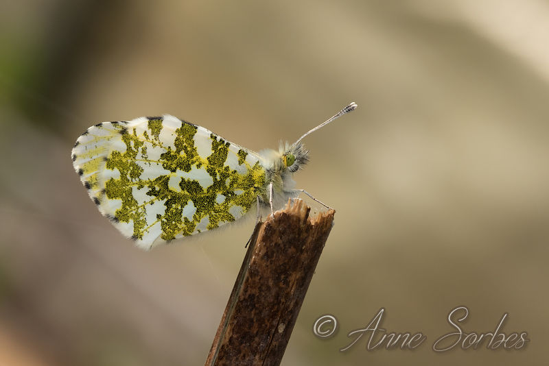 Orange Tip (Anthocharis cardamines) photos