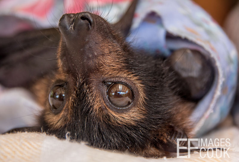 Spectacled Bat Baby, Or Flying Fox, Close Up