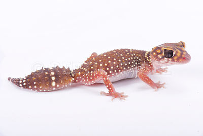 Eastern thick-tailed gecko (Underwoodisaurus husbandi) photos