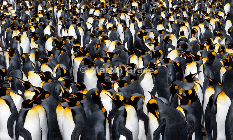 King Penguins (Aptenodytes patagonicus), Gold Harbour, South Georgia