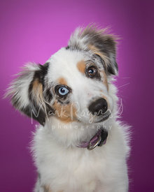 Mini-Australian Shepherd Puppy Against Purple Background