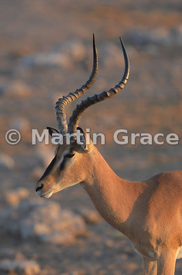 Head and shoulders of Male Black-Faced Impala (Aepyceros melampus petersi) showing the S-shaped, prominently-ridged horns, Etosha National Park, Namibia