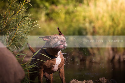senior brindle dog shaking off water by river
