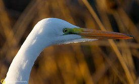 Great Egret #14