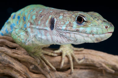 Spanish occelated lizard / Timon nevadensis photos