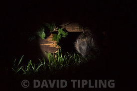 European Hedgehog  Erinaceus europaeus using hole in garden fence to move between gardens Norfolk