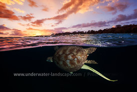 Sunset Turtle