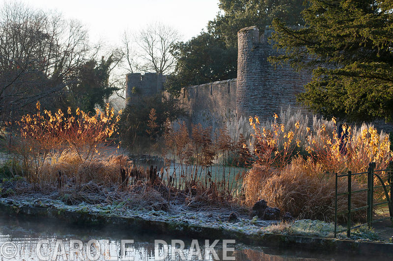 Early morning sun illuminates the last few leaves on colourful cornus and russets of dead grasses and astilbes in the Bishop's Palace garden in Wells on a November morning