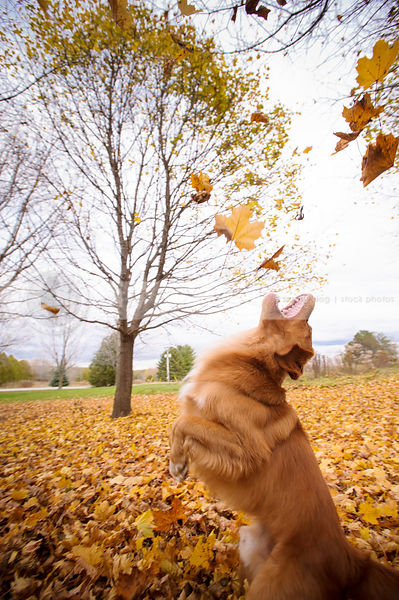 fun dog jumping skyward on two legs  playing in autumn leaves