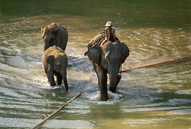Elephants logging teak