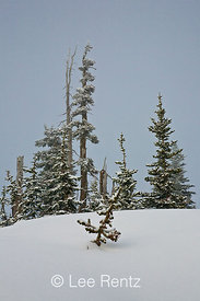 Subalpine forest after a snowstorm on Hurricane Ridge, Olympic National Park, Olympic Peninsula, Washington, USA, March, 2009_WA_8148