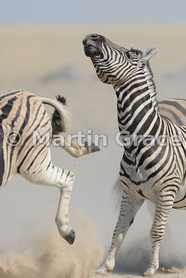 One Plains Zebra (Equus burchellii) about to be hoofed by another, Etosha National Park, Namibia