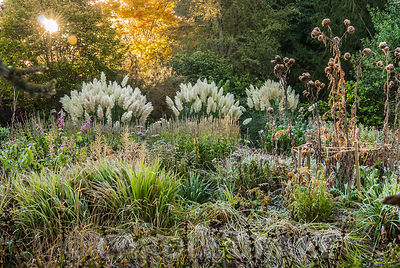 Herbaceous and grasses garden features large clumps of pampas grass, Cortaderia, phormiums, grasses such as miscanthus and herbaceous plants including dahlias, asters and Salvia uliginosa. Exbury Gardens, Exbury, Hants, UK