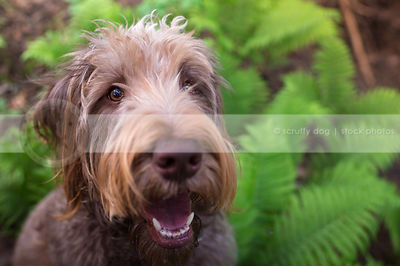 headshot of happy big brown shaggy dog looking upward in ferns