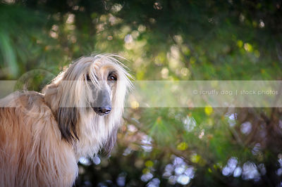 portrait of windblown longhaired dog with minimal background