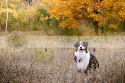 happy longhaired tricolor dog smiling from autumn field