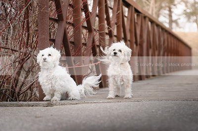 two groomed small white dogs on boards on bridge
