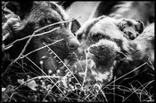 1359-Wild_dogs_Laurent_Baheux