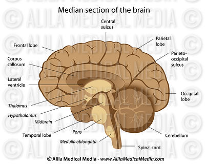 Human brain anatomy labeled.