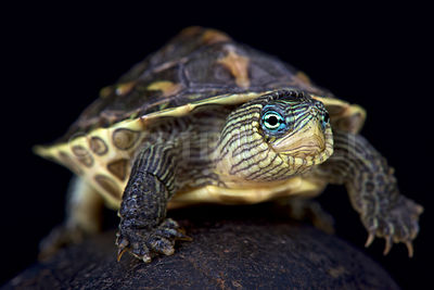 Chinese stripe-necked turtle (Mauremys sinensis)  photos