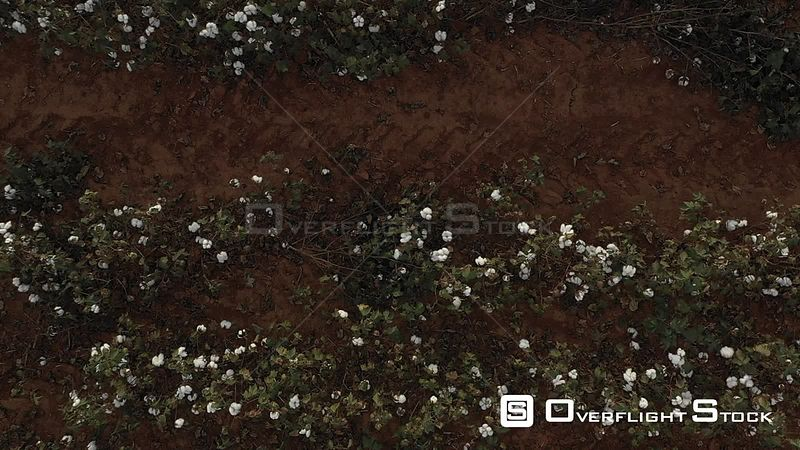 Cotton Crop with Boll Huntsville Alabama