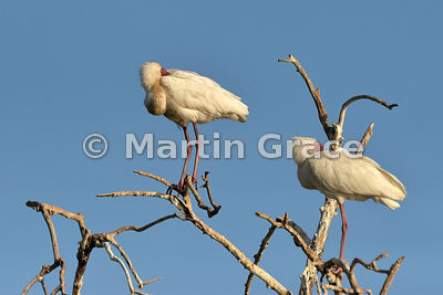 Two African Spoonbills (Platalea alba) roosting in a dead tree by the River Chobe, Botswana