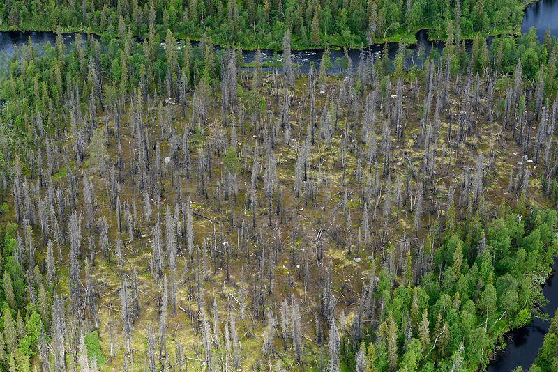 Aerial view of taiga forest with a patch of dead tees surrounded by river, Sjaunja Bird Protection Area, Greater Laponia Rewilding Area, Lapland, Norrbotten, Sweden, June 2013.