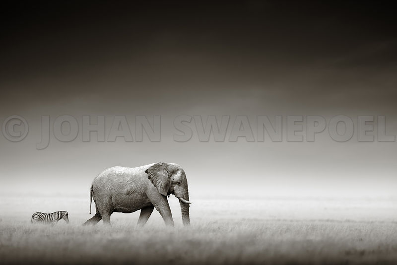 Elephant with zebra behind in open grass field