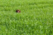 Irish red setter in field