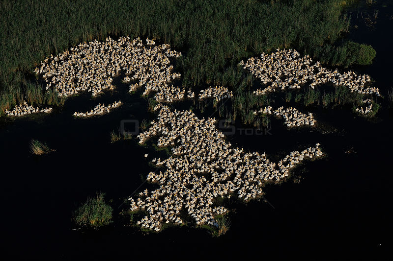 Eastern white pelicans (Pelecanus onocrotalus), aerial view of flock nesting on ground within Danube delta rewilding area, Romania, June 2012