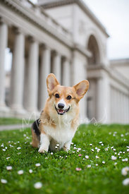 Smiling Dog Sitting on Grass in front of Building