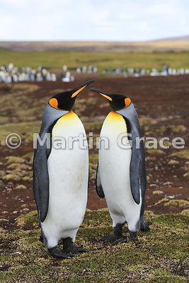 Pair of King Penguins (Aptenodytes patagonicus), Volunteer Point, East Falkland, Falkland Islands