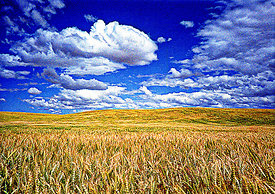 Cumulus clouds over ripening wheat