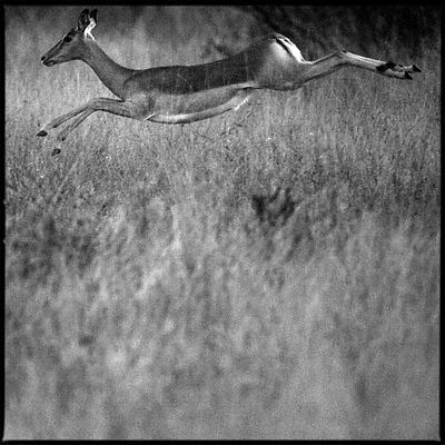 1727-Antelope_South_Africa_2008_Laurent_Baheux