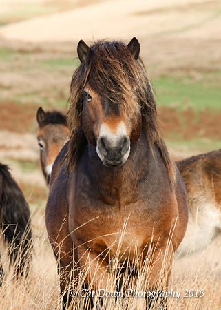 Exmoor_Stallion