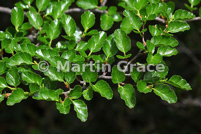 Leaves of Nothofagus nitida (Coigue de Chiloe), Osorno Volcano, Vicente Perez Rosales National Park