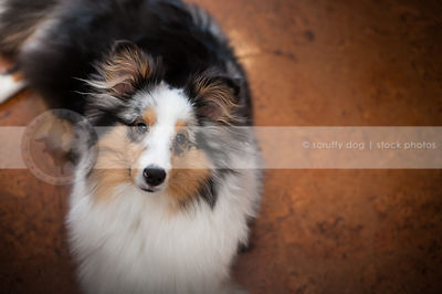 curious sheltie dog staring upward with minimal background