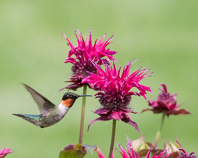 Ruby-throated Hummingbird - #2