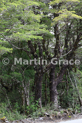 Nothofagus dombeyi (Coigue or Coihue), Chile's largest broadleaved tree, Parque Nacional Vicente Perez Rosales, Los Lagos, Chile